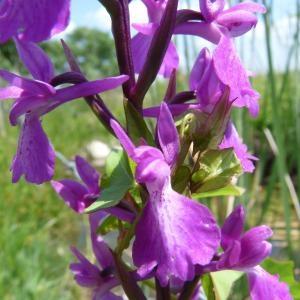 Anacamptis palustris (Jacq.) R.M.Bateman, Pridgeon & M.W.Chase (Orchis des marais)