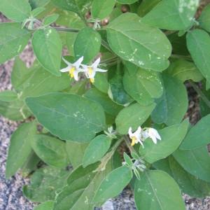 Photographie n°32818 du taxon Solanum nigrum L.
