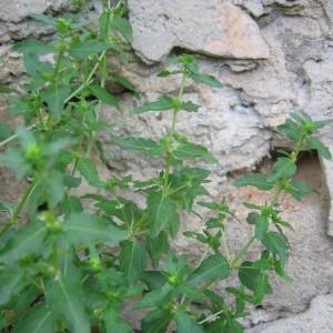 Photographie n°32829 du taxon Mercurialis annua L.