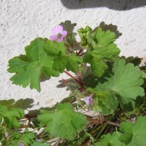 Photographie n°32834 du taxon Geranium molle L.