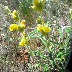 Photographie n°32865 du taxon Phlomis lychnitis L.