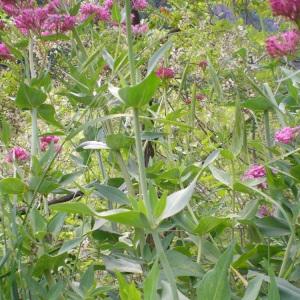 Photographie n°32900 du taxon Centranthus ruber (L.) DC.