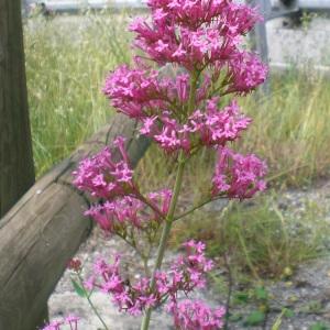 Photographie n°32901 du taxon Centranthus ruber (L.) DC.