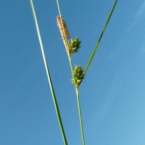 Photographie n°32913 du taxon Carex viridula Michx. [1803]