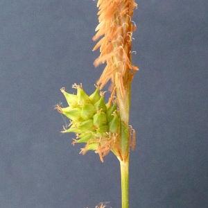 Photographie n°32914 du taxon Carex viridula Michx. [1803]