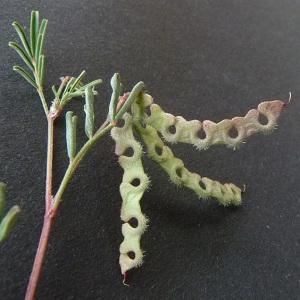 Photographie n°32923 du taxon Hippocrepis ciliata Willd.