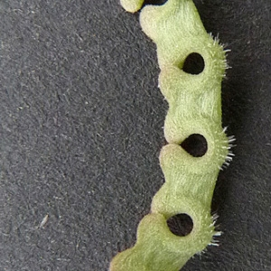 Photographie n°32924 du taxon Hippocrepis ciliata Willd.