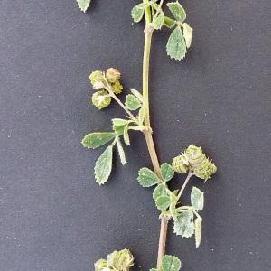 Photographie n°32929 du taxon Medicago littoralis Rohde ex Loisel.