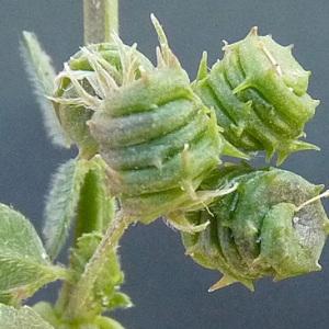 Photographie n°32930 du taxon Medicago littoralis Rohde ex Loisel.
