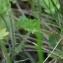 Valérie BRUNEAU-QUEREY - Saxifraga granulata L.