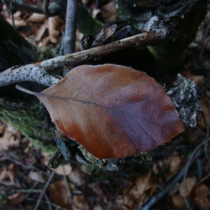 Photographie n°32970 du taxon Fagus sylvatica L.