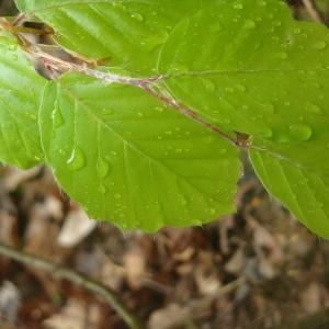 Photographie n°32973 du taxon Fagus sylvatica L.