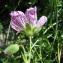 Catherine MAHYEUX - Geranium cinereum Cav.