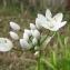 Catherine MAHYEUX - Allium neapolitanum Cirillo
