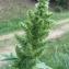 Catherine MAHYEUX - Amaranthus retroflexus L.