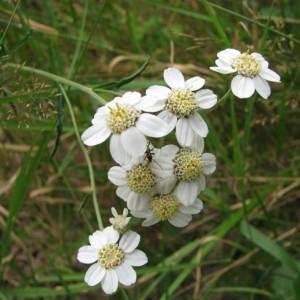 Photographie n°33008 du taxon Achillea ptarmica L.