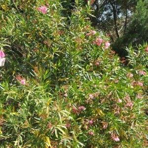 Photographie n°33103 du taxon Nerium oleander L. [1753]