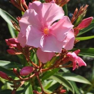 Photographie n°33104 du taxon Nerium oleander L. [1753]