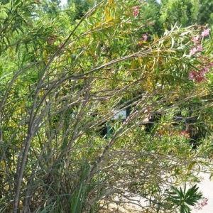 Photographie n°33108 du taxon Nerium oleander L. [1753]