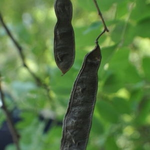 Photographie n°33127 du taxon Robinia pseudoacacia L.