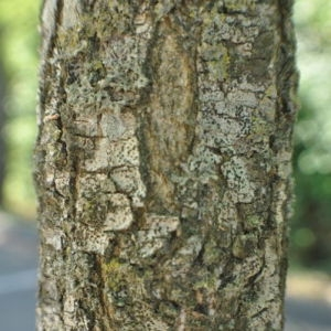 Photographie n°33137 du taxon Sophora japonica L.