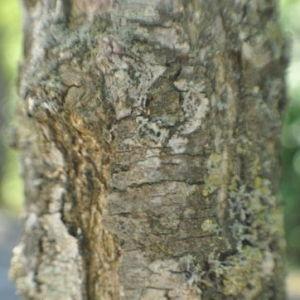 Photographie n°33138 du taxon Sophora japonica L.