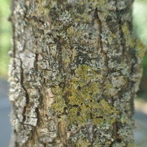 Photographie n°33139 du taxon Sophora japonica L.