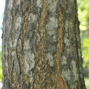 Photographie n°33146 du taxon Sophora japonica L.
