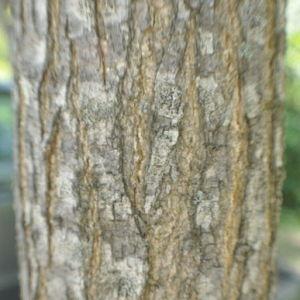 Photographie n°33147 du taxon Sophora japonica L.