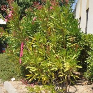 Photographie n°33175 du taxon Nerium oleander L. [1753]