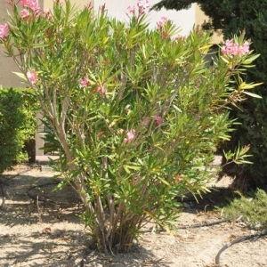 Photographie n°33176 du taxon Nerium oleander L. [1753]