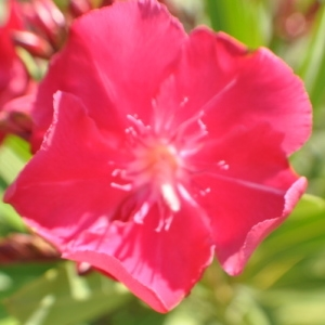 Photographie n°33182 du taxon Nerium oleander L. [1753]