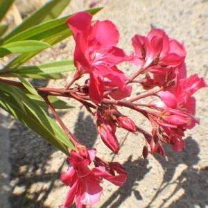 Photographie n°33184 du taxon Nerium oleander L. [1753]