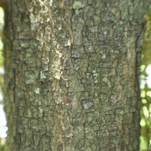 Photographie n°33189 du taxon Quercus ilex L. [1753]