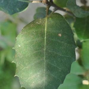 Photographie n°33190 du taxon Quercus ilex L. [1753]