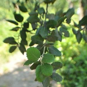 Photographie n°33192 du taxon Quercus ilex L. [1753]