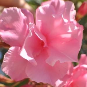 Photographie n°33211 du taxon Nerium oleander L. [1753]