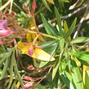 Photographie n°33212 du taxon Nerium oleander L. [1753]