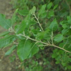 Photographie n°33376 du taxon Quercus ilex L. [1753]