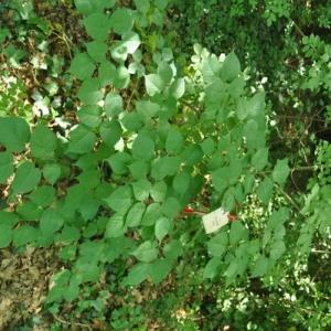 Photographie n°33385 du taxon Tilia platyphyllos Scop. [1771]
