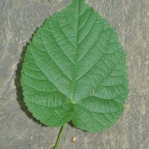 Photographie n°33388 du taxon Tilia platyphyllos Scop. [1771]