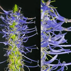 Photographie n°33425 du taxon Phyteuma spicatum L.