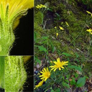 Photographie n°33426 du taxon Hieracium murorum L. [1753]