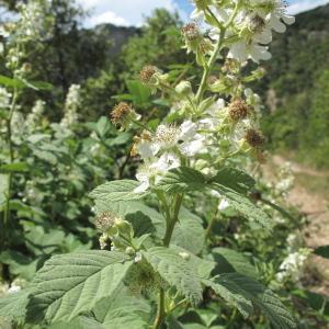 Photographie n°33476 du taxon Rubus canescens DC.