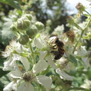 Photographie n°33477 du taxon Rubus canescens DC.