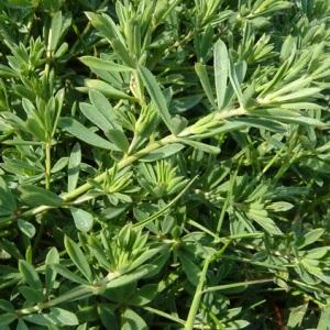 Photographie n°33536 du taxon Dorycnium herbaceum subsp. gracile (Jord.) Nyman [1878]