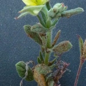 Photographie n°33538 du taxon Helianthemum ledifolium (L.) Mill.
