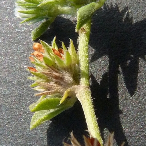 Photographie n°33542 du taxon Trifolium scabrum L. [1753]