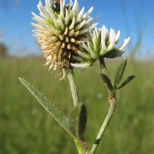 Photographie n°33550 du taxon Trifolium montanum L.
