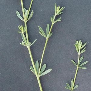 Photographie n°33580 du taxon Dorycnium pentaphyllum Scop. [1772]